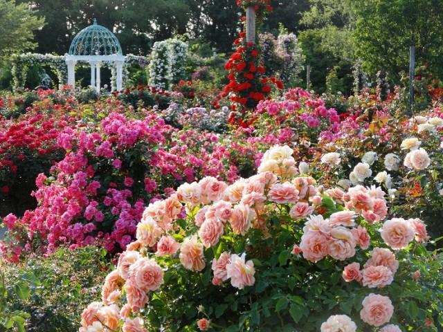バラ庭園・バラ苗