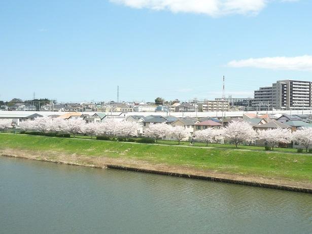 八千代千本桜